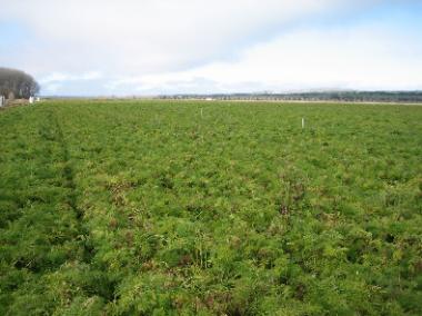 campo de zanahorias